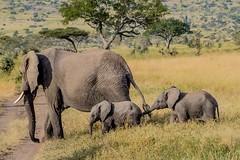 Crossing the road / Masai Mara / Kenya (fotopamas) Tags: citrit