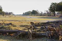 it's on (v_ac_md) Tags: northwest botswana africanwilddog africanpainteddog