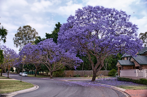 Jacaranda street, Brisbane by Tatters ❀, on Flickr