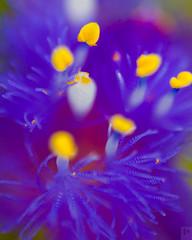 Lens Reversal Macro, Kaas Plateau (Prabal Pandey) Tags: flower macro purple petal stamen pollen satara sahyadri kaas
