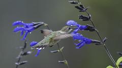 Raining in Hummingbird Land_DSC8578 (DansPhotoArt) Tags: morning motion bird nature fauna garden wings backyard hummingbird bokeh wildlife free aves fresh balance fragile alert onthemove passaros rubythroatedhummingbird colibris beijaflores picaflores archilocuscolubris hummingbirdinflight