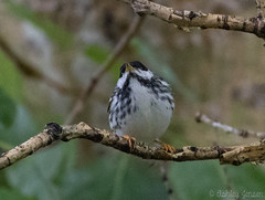 Blackpoll Warbler (AshleyJensenAvianPhotography) Tags: wild canada nature birds animal spring wildlife north alberta western northamerica migratory migration northern eco lethbridge songbirds migrant 2015