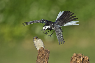 Pied Wagtail ( Motacilla alba) House Sparrow (Passer domesticus)