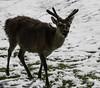 Réjoui ! (pleased !) (Larch) Tags: snow nature neige roedeer chevreuil pleased hautesavoie merlet leshouches parcdemerlet réjoui