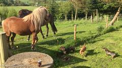 (Kenneth Gerlach) Tags: summer animals denmark outdoor sommer dk hest dyr gravhund ruhret islandskhest trs northdenmarkregion