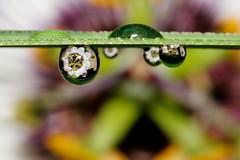 Passionflower (luporosso) Tags: flowers naturaleza macro nature fleur closeup drops nikon flor natura drop gotas refraction fiori fiore goccia gocce naturalmente rifrazione nikond300s
