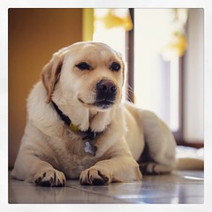 116/365 ti tengo d'occhio! #365 #365project #watchingyou #labrador #dog #doglover #labradorlove (Lorenzo Tombola) Tags: dog square labrador watching honey squareformat 365 365project nikond800 instagram