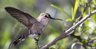 _O6A0291 Hummingbird ©Dancing Snake Nature Photography