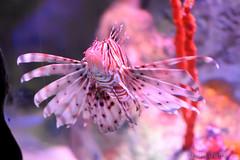 Red Lionfish (Bri_J) Tags: sealifecentre birmingham uk aquarium nikon d7200 redlionfish red lionfish fish
