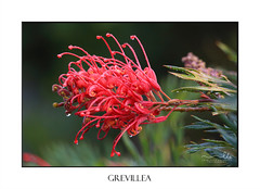 Grevillea (sugarbellaleah) Tags: grevillea proteaceae calyx styles red green leaves plant flora dewdrops wet beautiful australian native