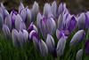 Crocus. Stack of 24 photos (KlavsNielsen) Tags: flower lilac closeup macro nature itsalive purple cluster spring springtime