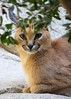 Partially Hidden (greekgal.esm) Tags: caracal cat feline animal mammal carnivore livingdesertzoo livingdesert palmdesert california sony rx10m3