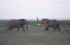 IMGP8133b (Micano2008) Tags: kenia africa amboseli parquenacional pentax mamifero elefanteafricanodesabana loxodontaafricana aves garcillabueyera bubulcusibis lucha juego