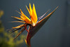 Bird of paradise (ponzü) Tags: coronadelmar beach birdofparadise flower flowers light nature plants california lrexportviajf