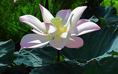 pink lotus in the summer (oneroadlucky) Tags: nature plant flower pink lotus waterlily