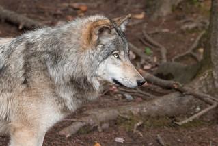 Gray Wolf  - img_6627