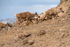Caribou Marching On! (jpmckenna - Tenquille Lake Up Next) Tags: alaska denali denalinationalpark landscape unit11 backpacking getoutside mountain caribou