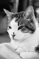 Mister Gato (Captured by AMK) Tags: cat cats feline felines blackandwhite petphotography pets project365