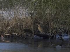 Bittern in harsh conditions (gerardkanters.nl) Tags: bittern roerdomp biesbosch wintertocht gerardkantersnl