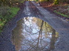 Forest puddle (seikinsou) Tags: ireland westmeath winter forest puddle reflection tree dog alsatian germanshepherd