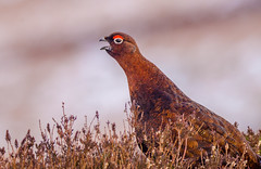 Go Back (Peter Quinn1) Tags: redgrouse goback derwentedge derbyshire moorland heather grouse