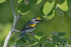 Gold winged Warbler (Joe Branco) Tags: migration trees spring cantwaitforspring outdoors songbirds nikond500 nikon ontarioparks photoshopcc2017 lightroomcc2015 joebrancophotography branco joe wildlife warblers goldwingedwarbler green