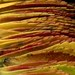 58001.01 Nipponanthemum nipponicum (horticultural art) Tags: horticulturalart nipponanthemumnipponicum nipponanthemum montaukdaisy leaves waves fallcolor