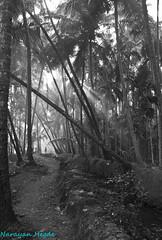 Morning Rays (Nanimuroor) Tags: canon 80d muroor nature karnataka landscape monochrome blackandwhite