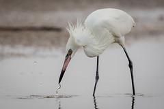Pickup (gseloff) Tags: whitemorphreddishegret fishing feeding baitfish bird wildlife tidalpool bolivarflatsshorebirdsanctuary houstonaudubonsociety galvestoncounty texas gseloff