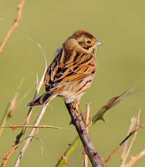 Reed Bunting(m) (badger2028) Tags: reed bunting male greylake emberiza schoeniclus