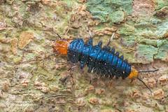 Ground beetle larva (Physodera eschscholtzii) - DSC_1501 (nickybay) Tags: bukittimah bukittimahnaturereserve seraponglinkpath macro singapore physodera eschscholtzii carabidae ground beetle larva