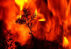 Christmas tree on fire (Goruna) Tags: fire christmastree firtree fireplace burning goruna