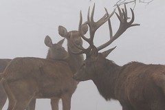 Red Deer Stag and two Hinds in the mist (GrahamParryWildlife) Tags: mk2 7d 150600 sigma grahamparrywildlife uk kent outdoor viewing photo flickr add new sunlight depth field up dof kentwildlife still digital serene nature deer red proud points antlers mud stag mist fog hind alert
