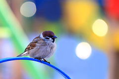 All colors of  spring (Unicorn.mod) Tags: 2017 colors spring sparrow bird outdoor nature canoneos6d canon70300f456isusm canon bokeh