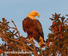 Bald Eagle at Sunset Canon 5DSR see full size (Mike Black photography) Tags: bald eagle bird nature canon 5dsr 600mm 800mm nj new jersey shore belmar black white trees big year sunset