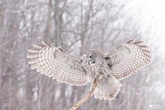 ''Dream!'' Chouette lapone-Greay owl (pascaleforest) Tags: oiseau bird animal nature nikon passion owl hibou chouette wild wildlife fauna canada winter hiver lescèdres