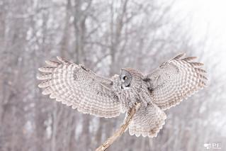 ''Dream!'' Chouette lapone-Greay owl