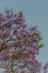 jacaranda tree in bloom (sixthofdecember) Tags: travel africa eastafrica tanzania nikon nikond5100 tamron tamron18270 city urban nature tree trees jacaranda jacarandatree blossom leaves purple sky outside outdoors blooming arusha