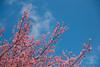 襯天 (Sean__YT) Tags: 櫻花 櫻 武陵農場 taiwan