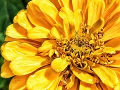 Zinnia // Zinnie (gerdschremer) Tags: nikond5300 natur nature macro detail zinnia zinnie flower
