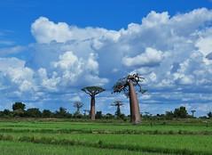 madagascar baobab (丸子呆) Tags: madagascar baobab 馬達加斯加 猴麵包樹 morondava 慕隆達瓦