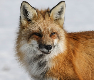 Renard roux - Red Fox  -  EXPLORE 17 mars 2017