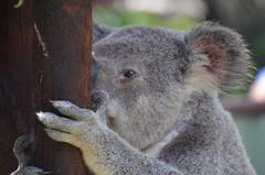 Koala roupillant