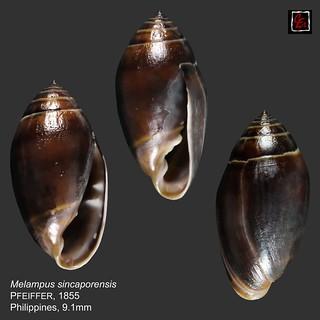 melampus sincaporensis3 philippines 9mm1