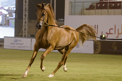 _SHR7102 (SAUD ALRSHIAD) Tags: horse arabic arabia arabian arabi