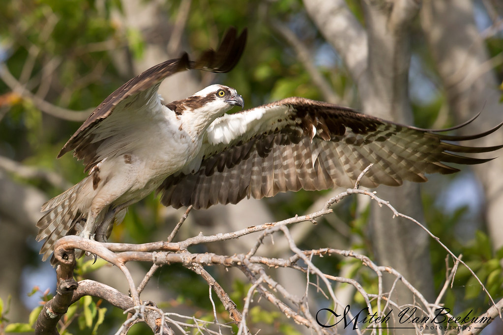 Osprey Launching