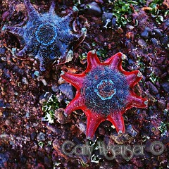 Starfish at soldiers beach (carlz86) Tags: water starfish australia sealife newsouthwales aquaticlife soldiersbeach