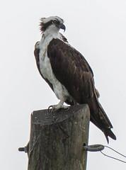 20150927-_74P9909.jpg (Lake Worth) Tags: bird nature birds animal animals canon wings florida outdoor wildlife feathers wetlands everglades waterbirds southflorida 2xextender sigma120300f28dgoshsmsports