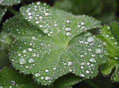 Regentropfen (waynorth) Tags: raindrops blatt frauenmantel regentropfen