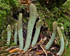 Microglossum viride